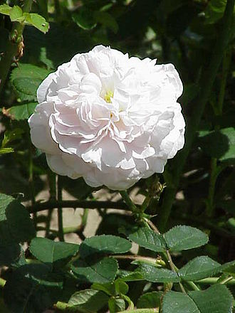 Garden roses - 'Maiden's Blush', an Alba rose (before 1400)