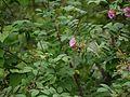 Rosa macrophylla (7789358814).jpg