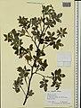 Rosa majalis herbarium (10).jpeg
