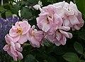 Rosarium Baden Rosa 'Astrid Lindgren' Oelsen 1989 01.jpg