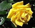 Rosashockwave1.jpg