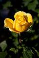 Rose, Izu no odoriko - Flickr - nekonomania.jpg