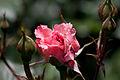 Rose, Lilibet - Flickr - nekonomania (2).jpg