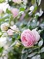 Rose, Pierre de Ronsard, バラ, ピエール ド ロンサール, (8758487422).jpg
