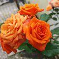 Roses opening.jpg