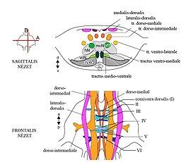platymelmintázza a központi idegrendszert