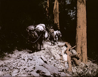 Camp Pico Blanco - Hand-tinted photograph of local Cowboy Roy Bixby leading pack mules through the redwoods in Palo Colorado Canyon in 1932.