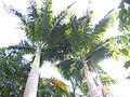 Roystonea oleracea- Jardin botanique de Deshaies.JPG
