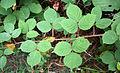 Rubus fructicosus liście 201.jpg