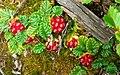 Rubus geoides.jpg