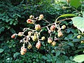 Rubus goniophorus - Botanischer Garten, Frankfurt am Main - DSC02465.JPG