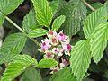 Rubus niveus - Mysore Rasp berry at Mannavan Shola, Anamudi Shola National Park, Kerala (12).jpg