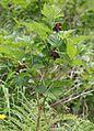 Rubus vernus (Mount Kasa).jpg