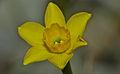 Rushleaf Jonquil (Narcissus assoanus) (8577796667).jpg