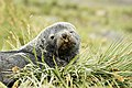 SGI-2016-South Georgia (Salisbury Plain)–Antarctic fur seal (Arctocephalus gazella) 05.jpg