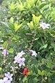 SZ 深圳 Shenzhen 南山區 Nanshan 蛇口體育中心 Shekou Sports Center Sept 2017 IX1 white flowers 33.jpg