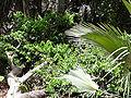 Saba senegalensis 0003.jpg
