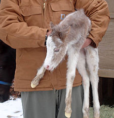 A pony foal. Pony foals are smaller than standard horse foals, but both have long legs and small bodies. SackOTatersPony.jpg