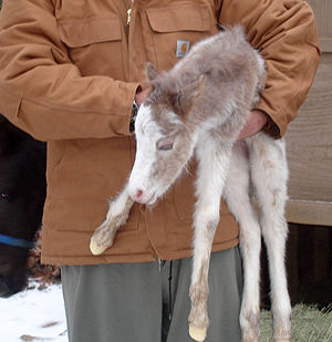 Pony - A pony foal. Pony foals are smaller than horse foals, but both have long legs and small bodies.