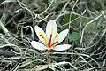 Saffron (5171802987).jpg