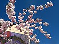 Saint Petersburg. Chinese Garden. Sakura tree2014 16.jpg