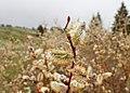 Salix lapponum kz14.jpg