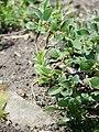 Salix pyrenaica (BG Wroclaw)-2.JPG