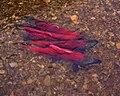 Salmons(kamchatka).jpg