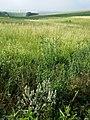 Salvia aethiopis sl11.jpg