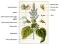 Salvia sclarea - Sturm DESC.png