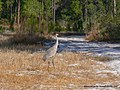 Sand Hill Crane at Wells Pond in Ocala National Forest - panoramio.jpg