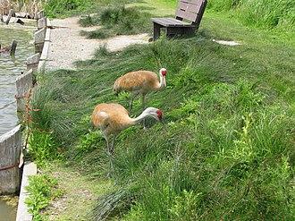 George C. Reifel Migratory Bird Sanctuary - Sandhill cranes