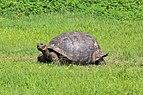 Santa Cruz giant tortoise 01.jpg