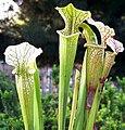 Sarracenia ((oreophila 'Sand Mtn' x flava) x leucophylla) x open-pollinated (4673035653).jpg