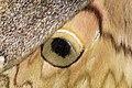 Saturnia thibeta okurai (31573133597).jpg