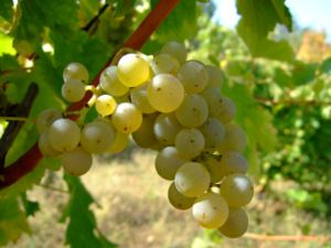 Sauvignon blanc wine grape. Location: Vlasotin...