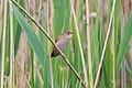 Savi's Warbler (Locustella luscinioides) (14180614667).jpg