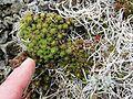 Saxifraga caespitosa ( tufted saxifrage) - Flickr - brewbooks.jpg