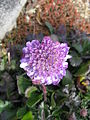 Scabiosa columbaria 'Butterfly Blue'2.jpg