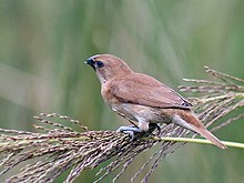 Scaly breasted Munia (Immature)- Kolkata- I IMG 3535.jpg