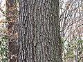 Scarlet Oak (30486674294).jpg