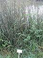 Schoenoplectus lacustris in Agamon HaHula.JPG