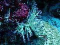 Scleronephthya sp Milhadhoo.JPG