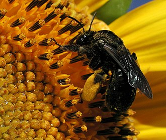 Scopa (biology) - Scopa of a Melissodes (family Apidae) on a sunflower; only the hind tibia carries pollen