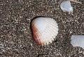 Sea Shells - Deniz kabukları 02.jpg
