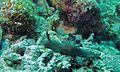 Sea Slug (Nembrotha milleri) (6136362646).jpg