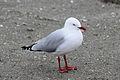 Seagull 9515 (9501460964) (4).jpg