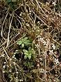 Sedum cepaea plant (02).jpg