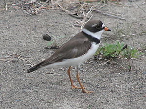 English: Semipalmated Plover (Charadrius semip...
