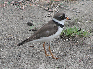Semipalmated plover Species of bird